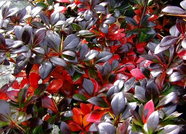 Berberis Red Juvell