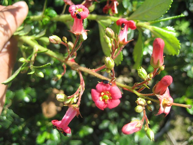 Escallonia Macranta Rubra